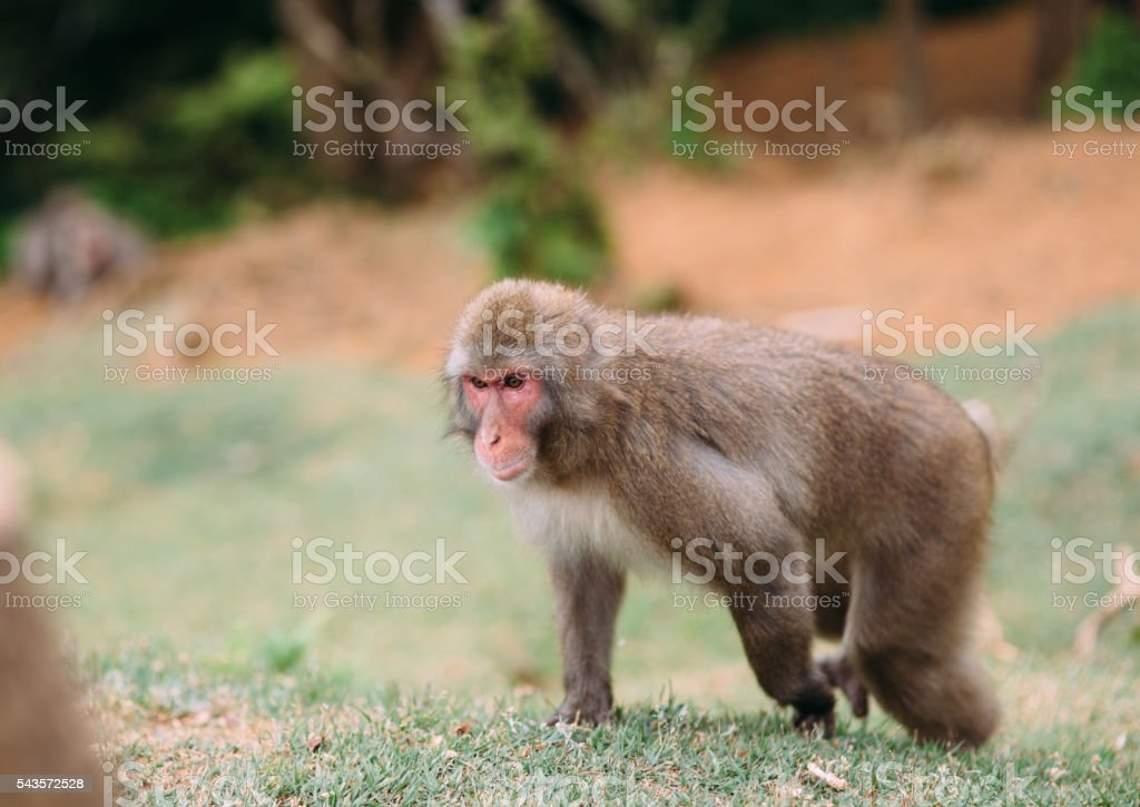 Japanese macaque in Kyoto stock photo