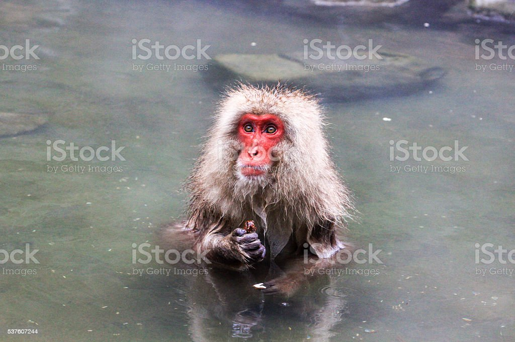 Japanese Macaque in Yamanouchi, Japan stock photo