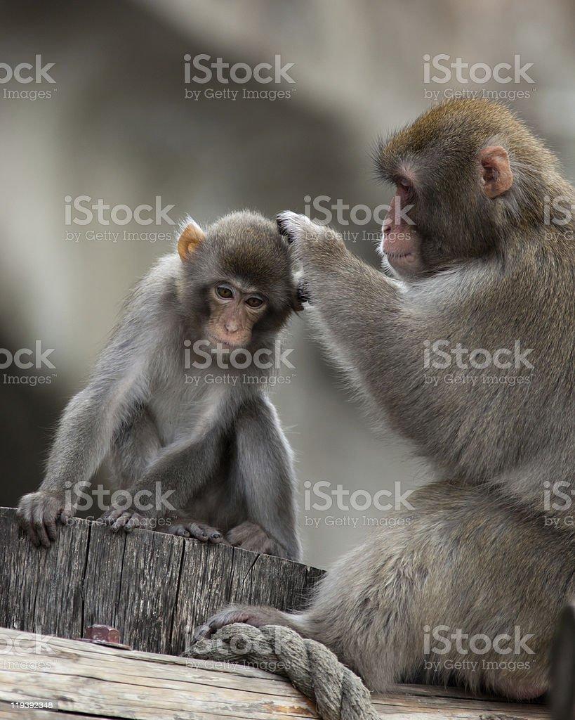 Japanese Macaque, Macaca fuscata stock photo