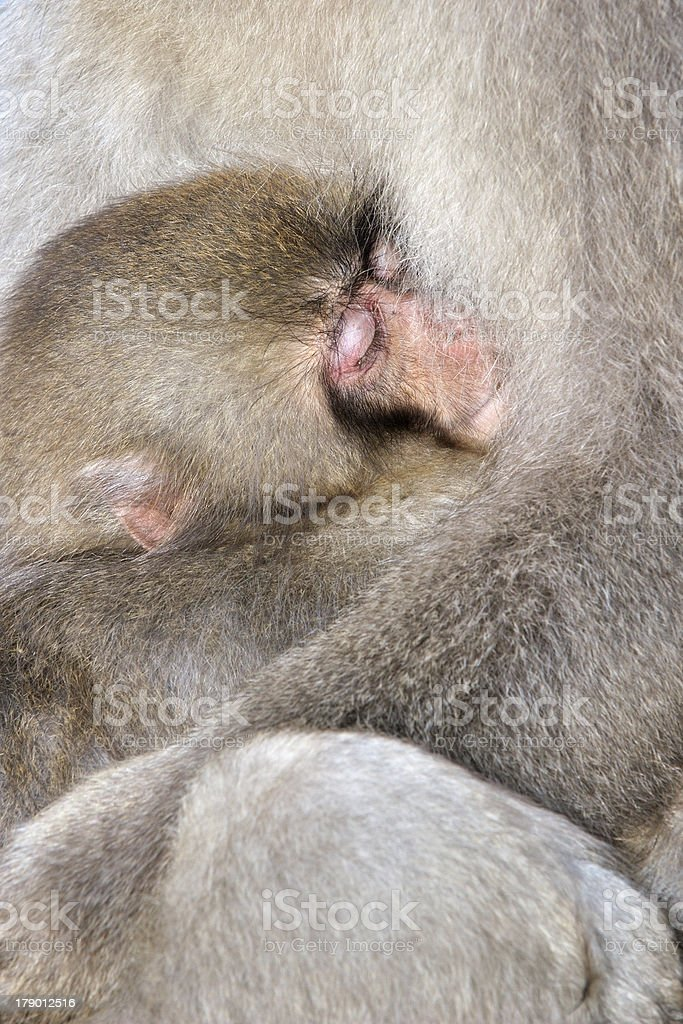 Japanese Macaque royalty-free stock photo
