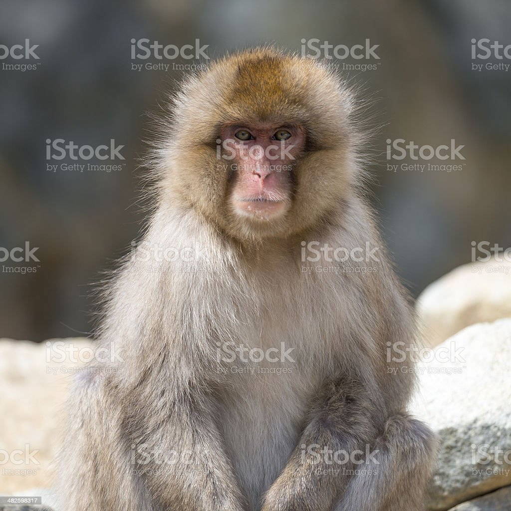 Japanese Macaque Portrait stock photo