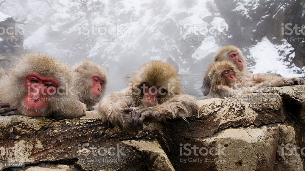 Japanese macaques bathing in an onsen (hot spring) royalty-free stock photo