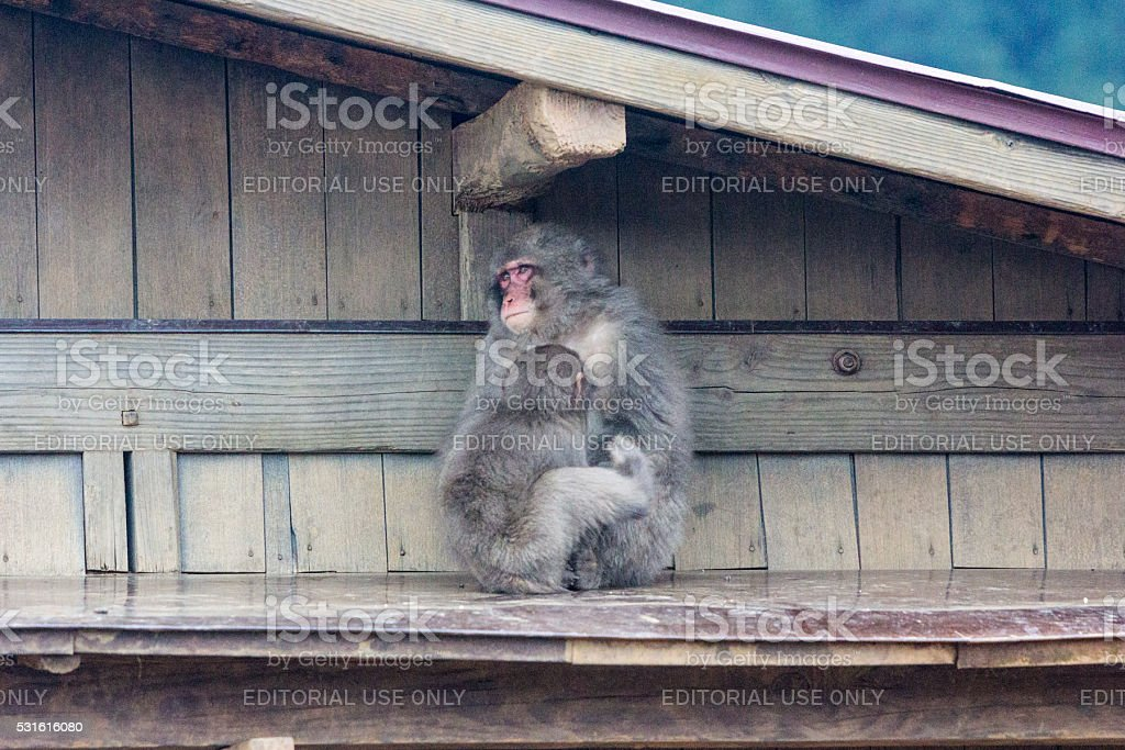 Japanese Macaques in Kyoto, Japan stock photo