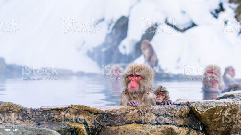 Japanese macaques in Nagano stock photo