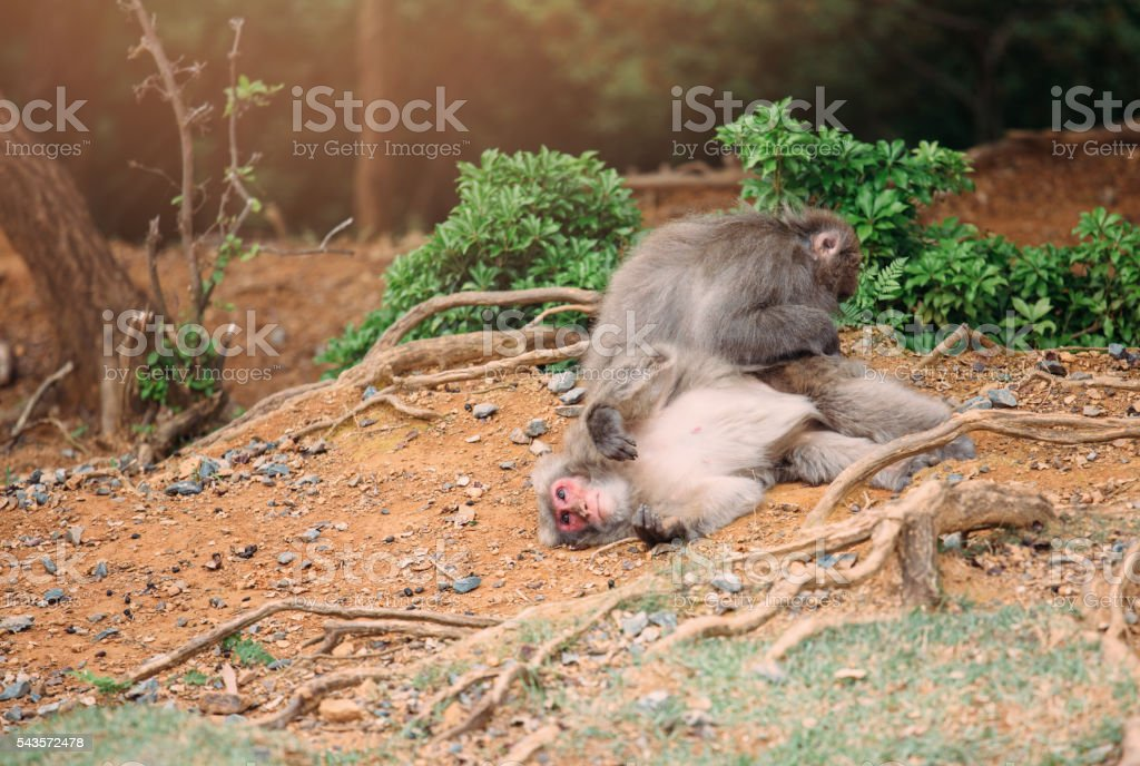 Japanese macaques playing stock photo