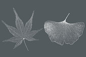 Japanese maple and ginkgo leaf