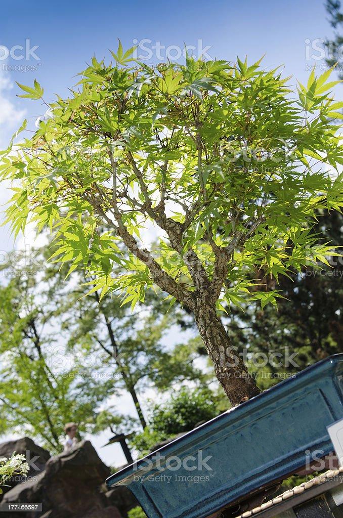 Japanese maple as bonsai tree royalty-free stock photo
