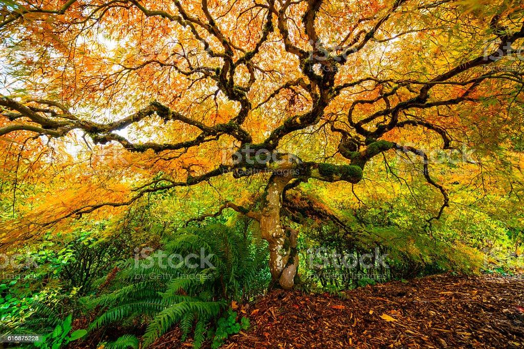 Japanese Maple Autumn. stock photo