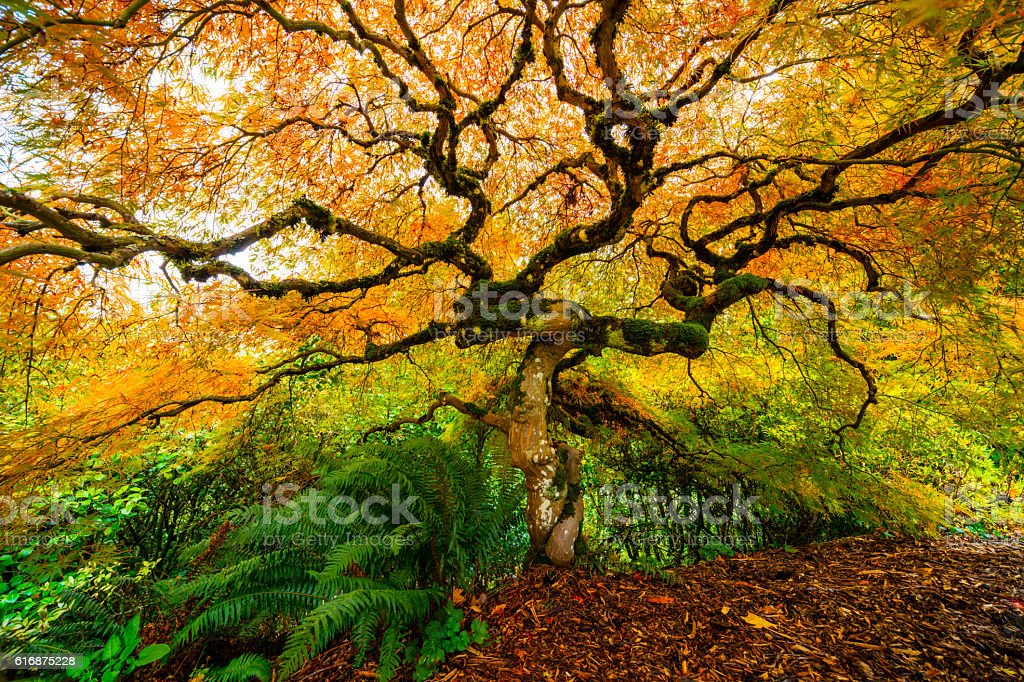 Japanese Maple Autumn. stock photo