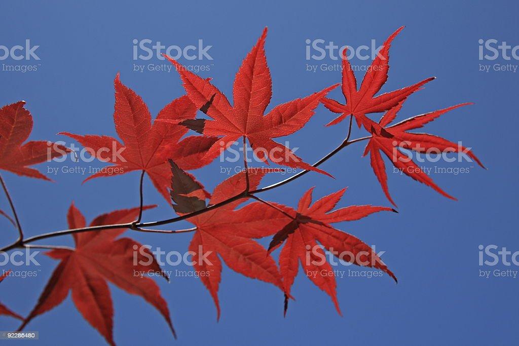 Japanese Maple -backlit royalty-free stock photo