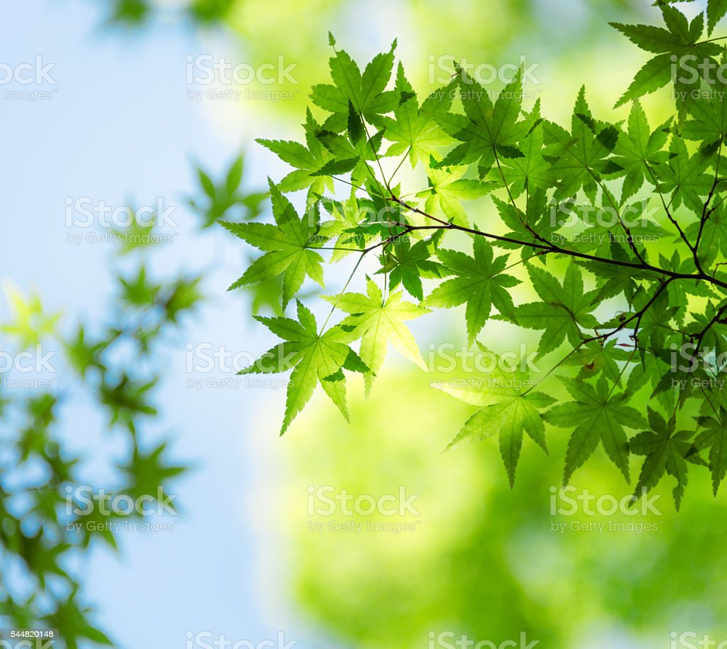 Japanese maple foliage, green  in early spring stock photo