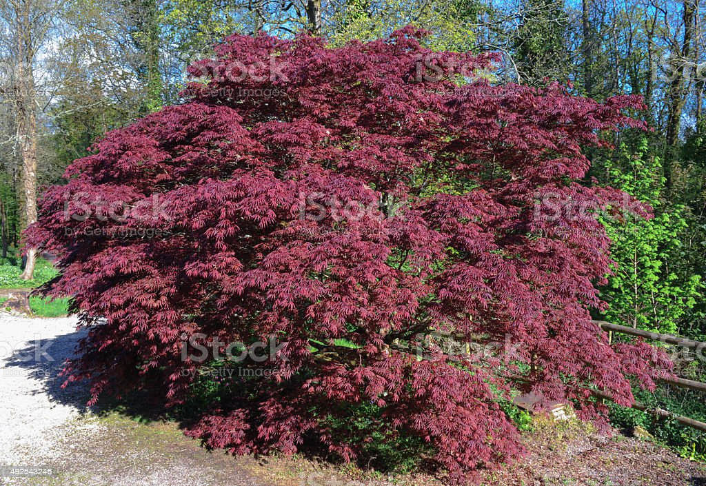 Japanese Maple (Acer palmatum) in a Garden, Devon, England, UK stock photo