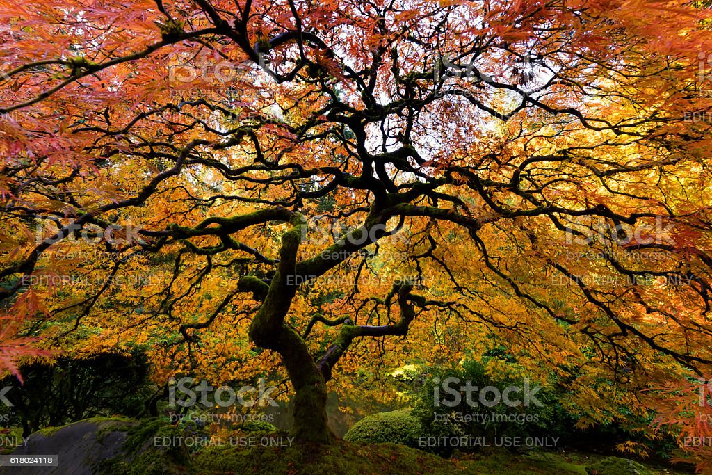 Japanese Maple in the Fall stock photo