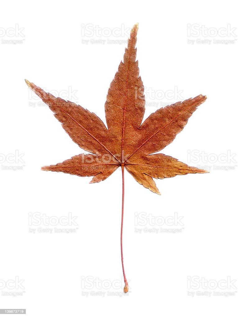 Japanese Maple Leaf royalty-free stock photo