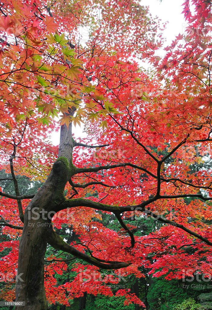 Japanese maple leaves in autumn royalty-free stock photo