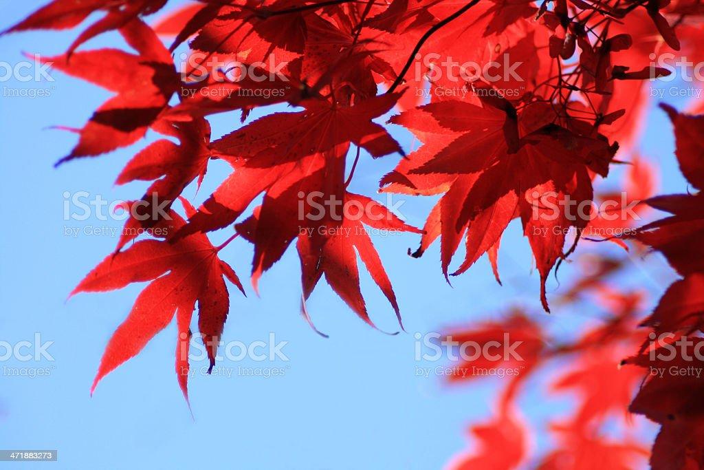 Foglie di acero giapponese foto stock royalty-free