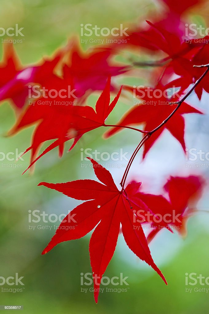 Japanese Maple Leaves stock photo
