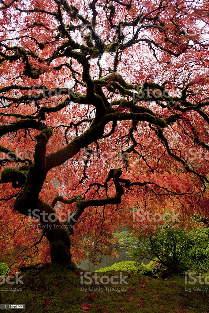 Japanese Maple on foggy day royalty-free stock photo