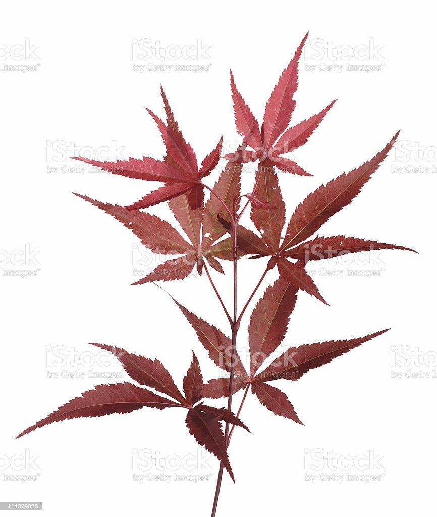 Japanese Maple (Acer palmatum) royalty-free stock photo