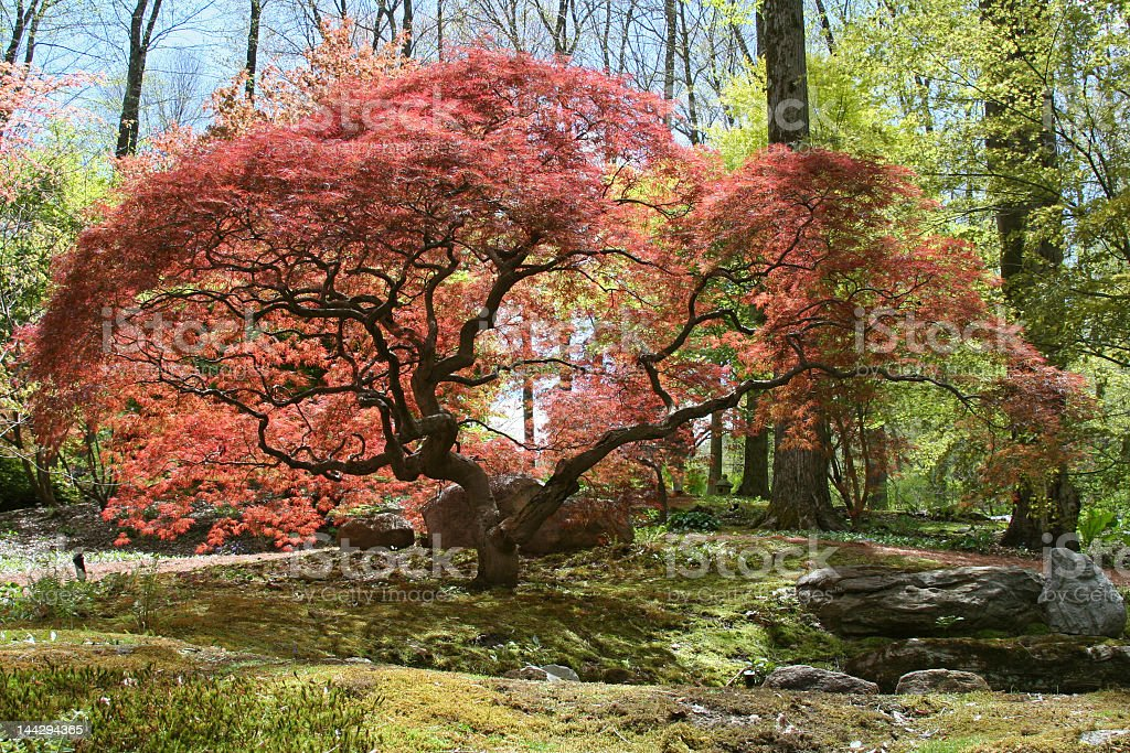 Japanese Maple stock photo