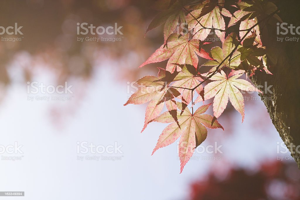 Japanese Maple (Acer palmatum) royalty-free stock photo