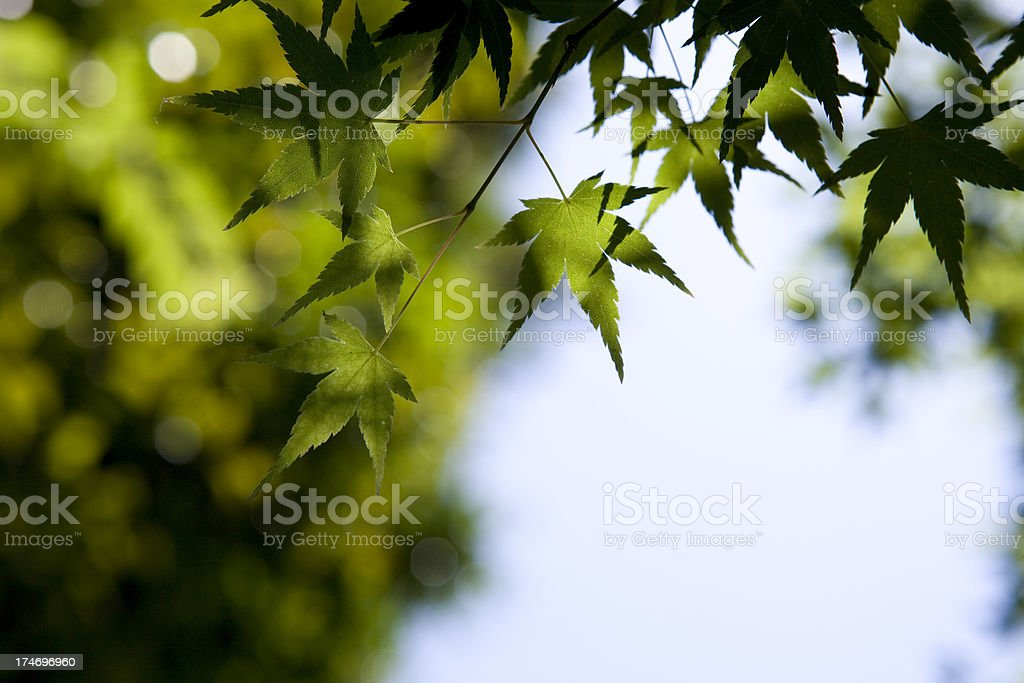 Japanese Maple royalty-free stock photo