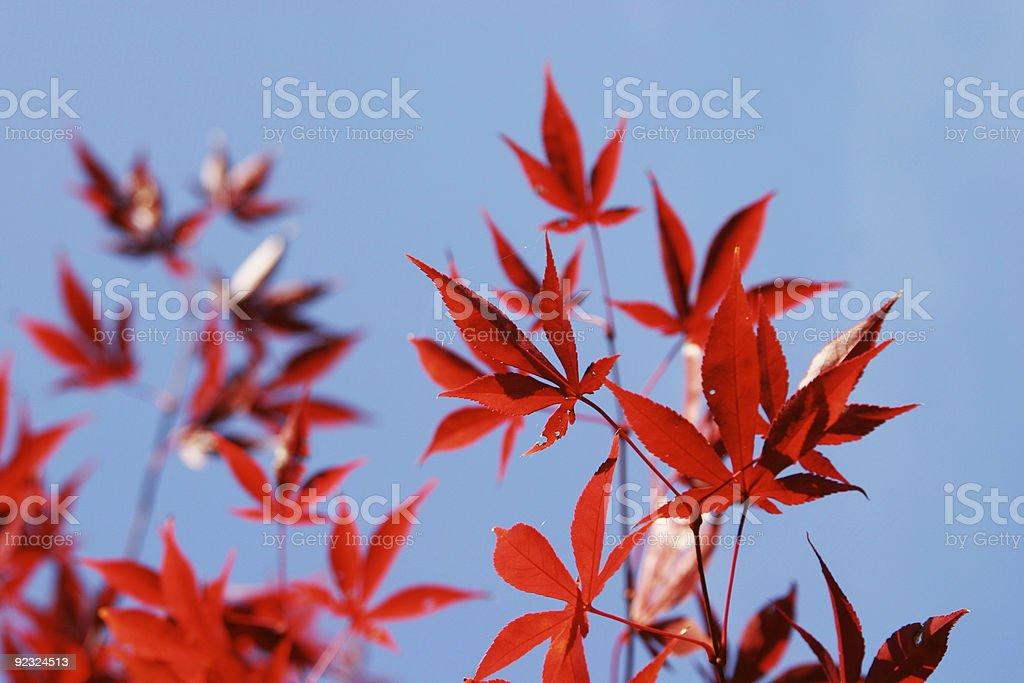 Japanese Maple royalty-free stock photo