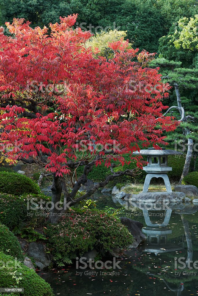 Japanese Maple Tree and Garden Pond royalty-free stock photo
