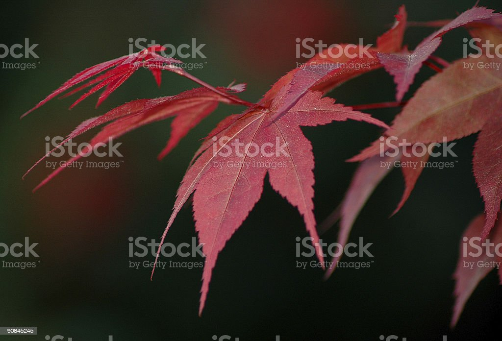 Japanese maple tree and leaves royalty-free stock photo