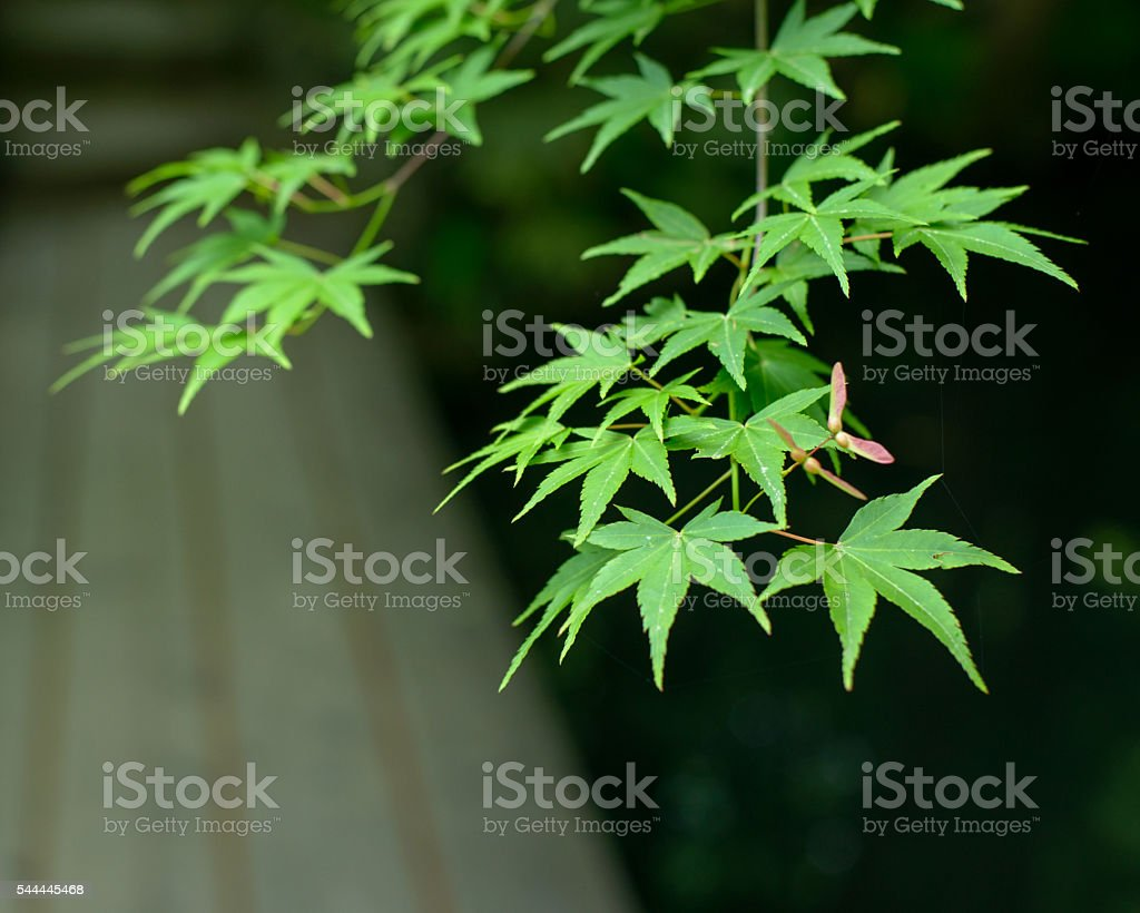 Japanese Maple Tree Branch and Garden Path stock photo