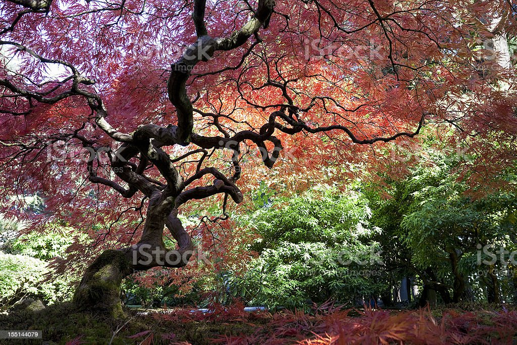 Japanese Maple Tree in Autumn stock photo