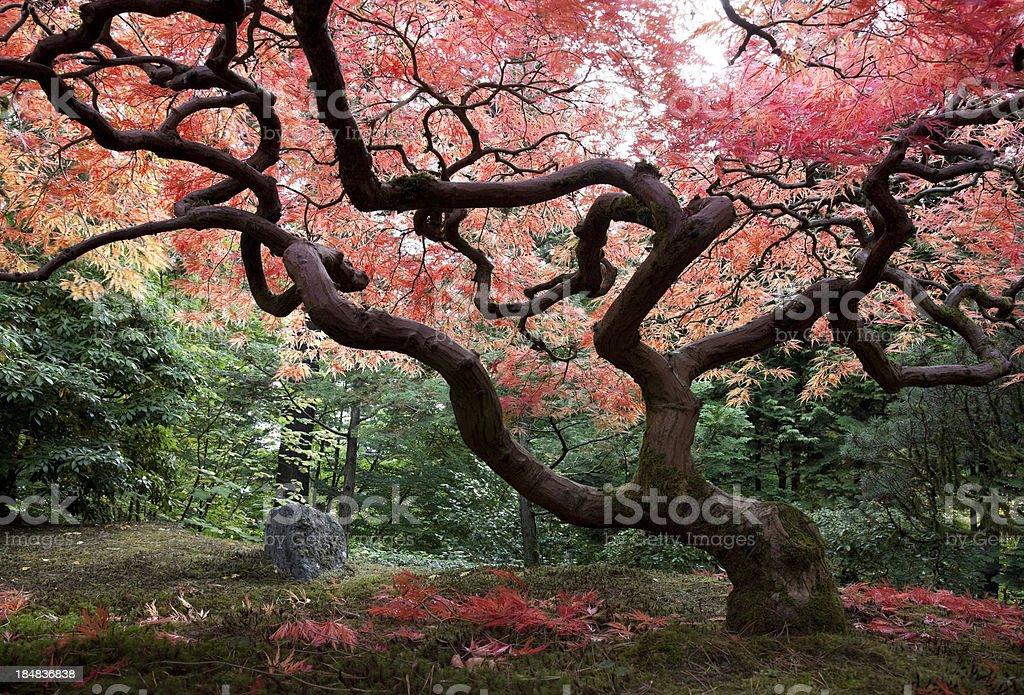 Japanese Maple Tree in Autumn royalty-free stock photo