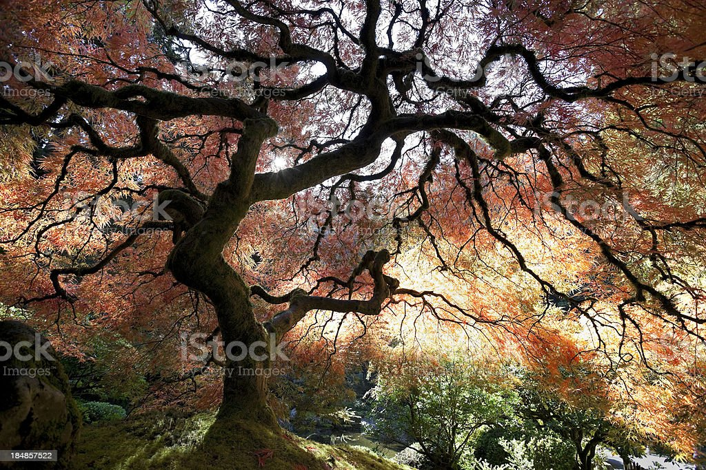 Japanese Maple Tree in Autumn royalty-free stock photo