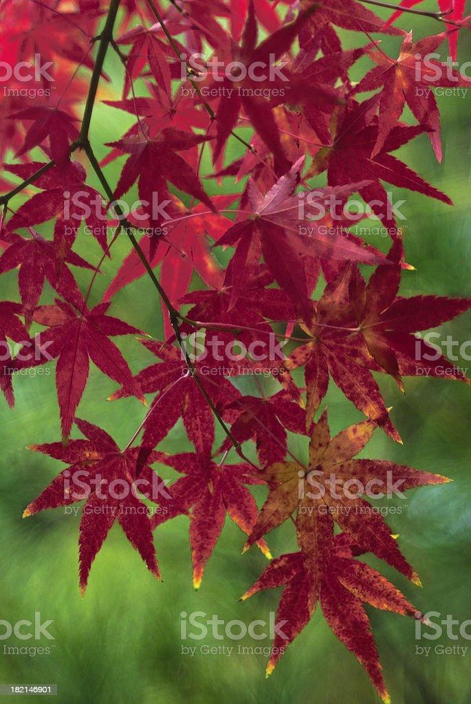 Japanese Maple Tree royalty-free stock photo