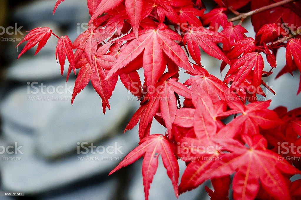 Japanese Maple Tree (Acer) royalty-free stock photo