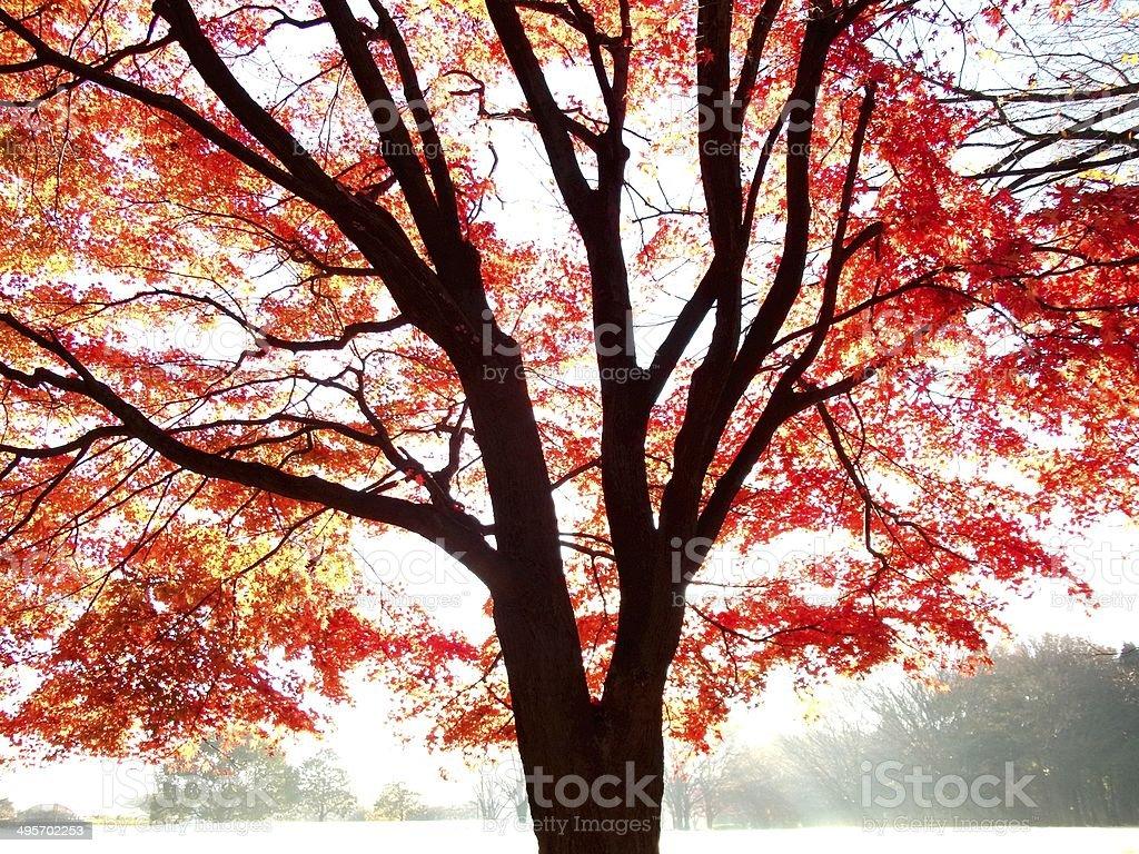 Japanese Maple tree stock photo