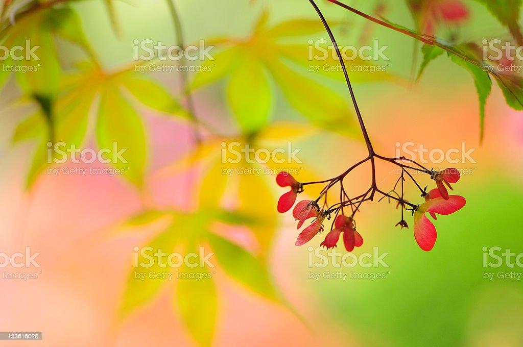 Japanese maple tree seeds royalty-free stock photo