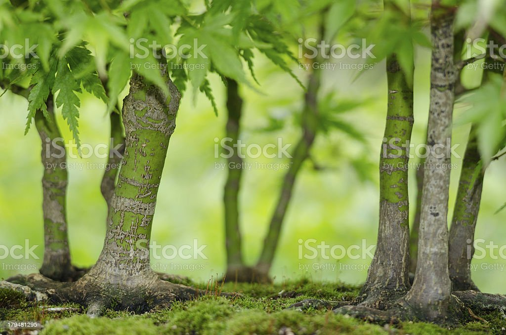 Japanese maple trees as bonsai forest royalty-free stock photo