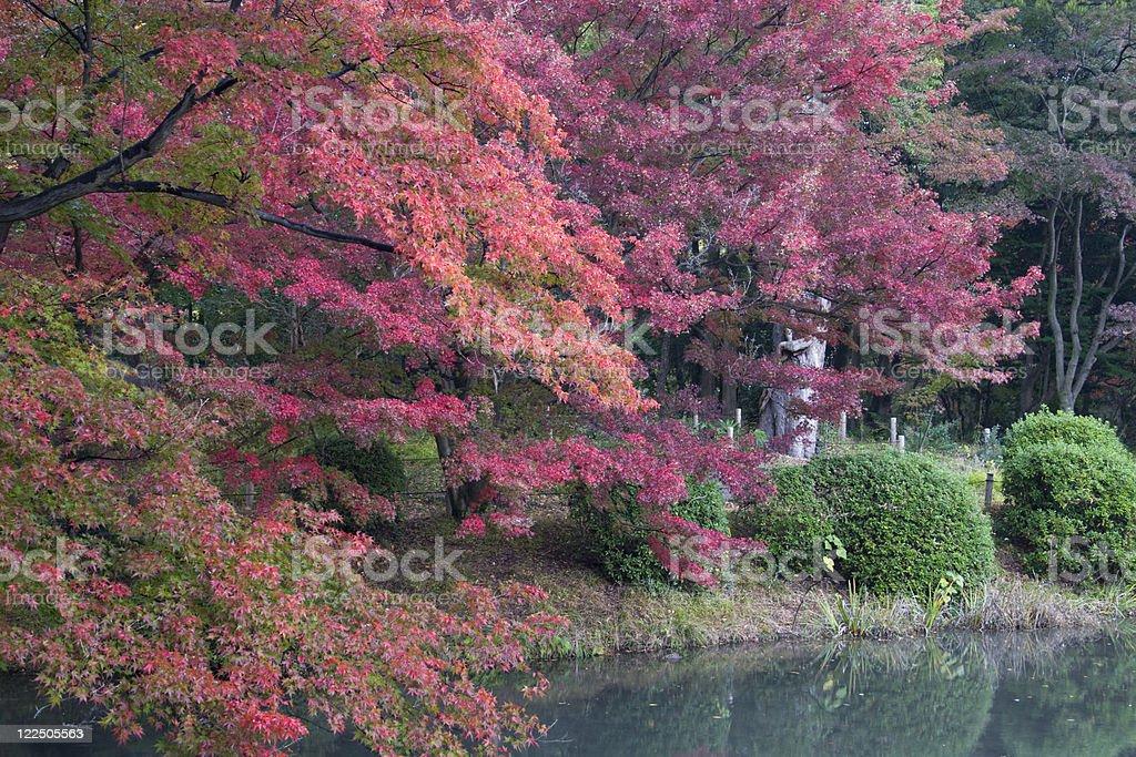 Japanese maple trees royalty-free stock photo