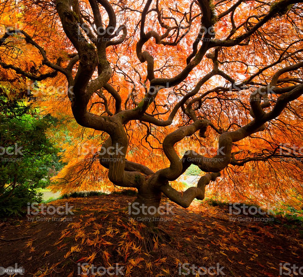 Japanese Maple with Fall Color stock photo