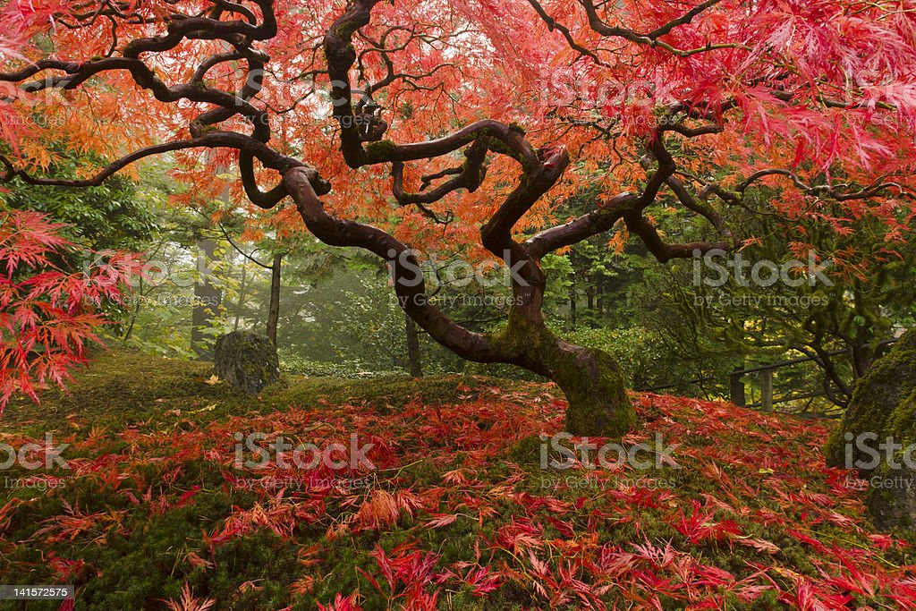Japanese Maple with fall colors stock photo