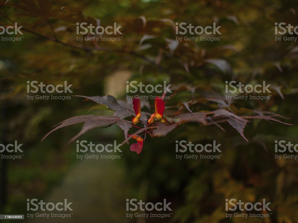 Japanese Maple with Seeds royalty-free stock photo
