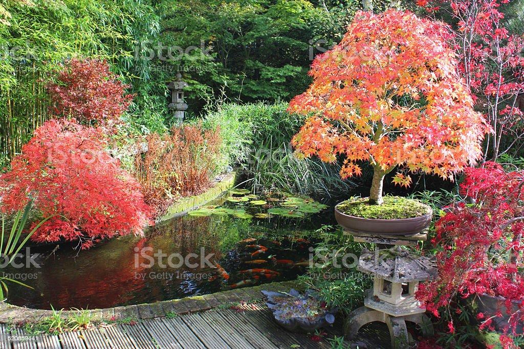 japanese maples bonsai tree fall colours autumn leaves garden koi pond