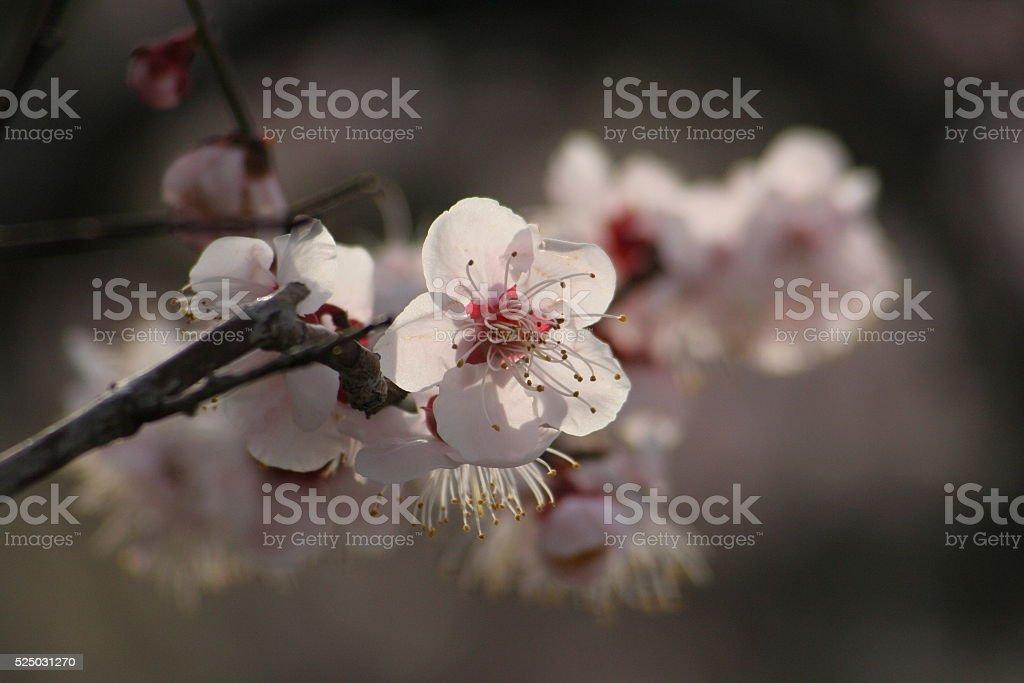 Japanese name, Bungo plum part 1 stock photo