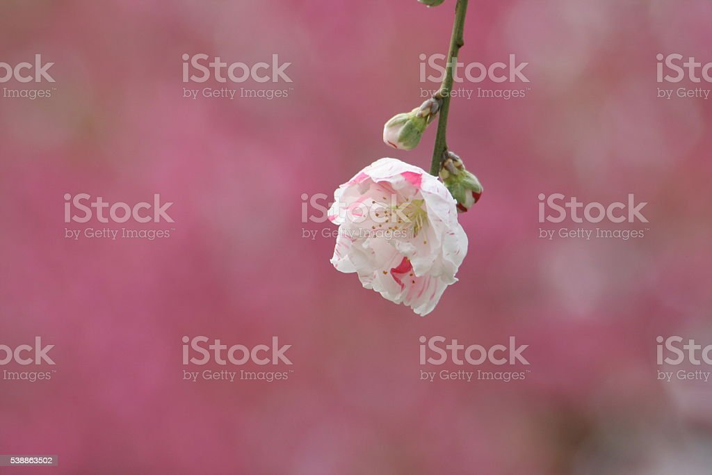 Japanese name, Genpei weeping peach Part 2 stock photo