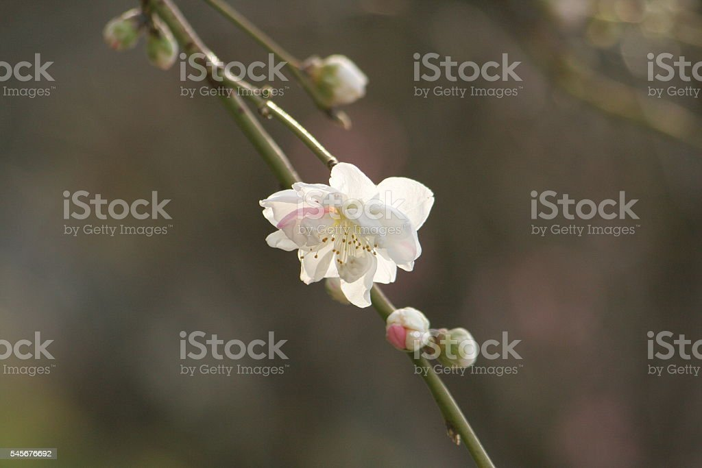 Japanese name, Genpei weeping peach Part 3 stock photo