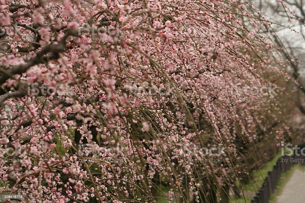 Japanese name, Married couple weeping plum stock photo
