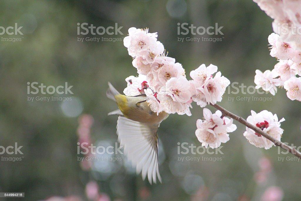 Japanese name. Mejiro with Bungo plum stock photo