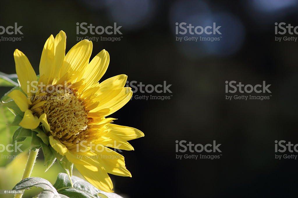 Japanese name, Monet sunflower Part 2 stock photo