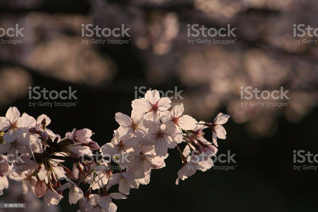 Japanese name, Prunus yedoensis Part 4 stock photo